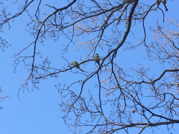 Richmond Park - Parrots